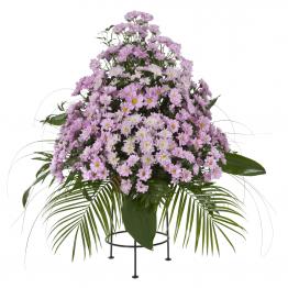 Variace fialové kopretinové chryzantémy